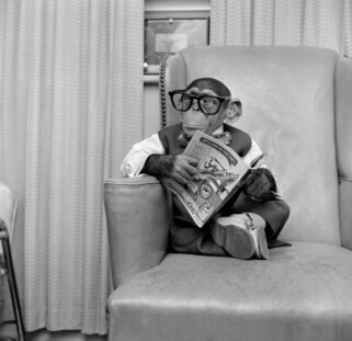 circa 1955:  Young chimpanzee Kokomo Jnr sits in a chair wearing glasses and holding a comic book at his owner's apartment in New York City.  (Photo by Vecchio/Three Lions/Getty Images)